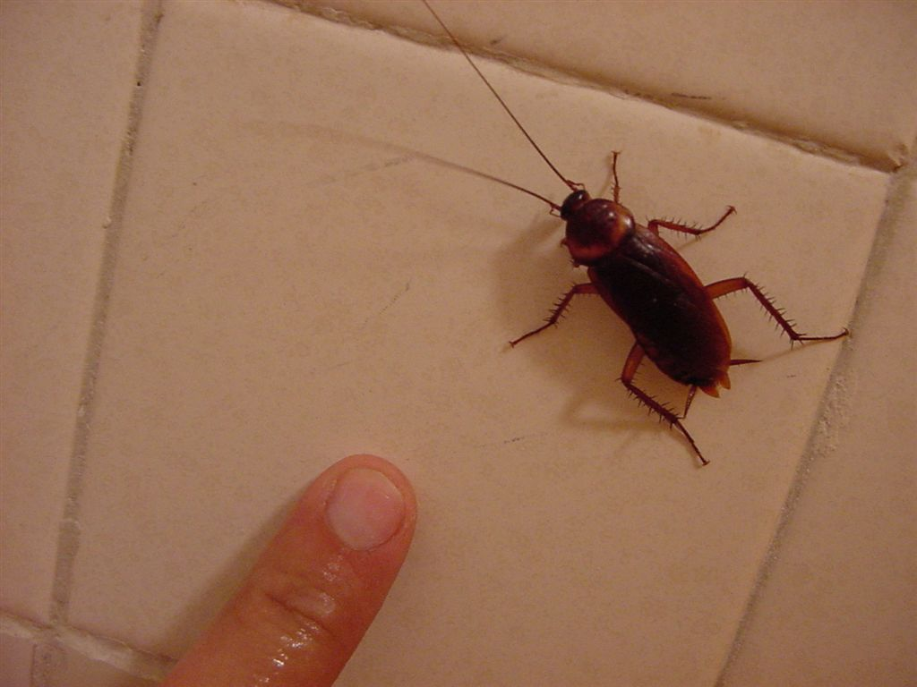 Mexican Cockroach Around The World And Back - Cockroach in bathroom